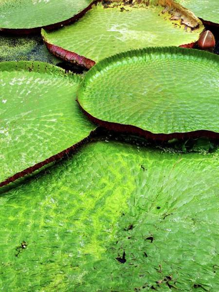 Victoria Amazonica Wall Art - Photograph - Victoria Amazonica by Ian Gowland/science Photo Library
