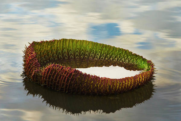 Victoria Amazonica Lily Pad, New Leaf Art Print