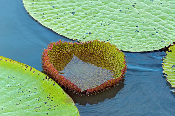 Victoria Amazonica Wall Art - Photograph - Victoria Amazonica Lily Pads, New Leaf by Keren Su