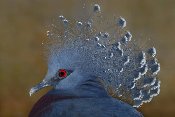 Photograph - Victoria Crowned Pigeon by Tony Beck