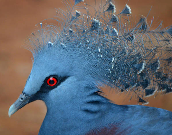 Photograph - Victorian Crowned Pigeon by Maggy Marsh