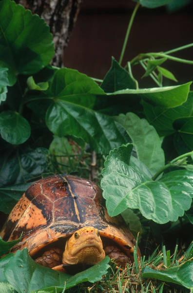 Box Turtle Photograph - Vietnamese Box Turtle by Steve Cooper