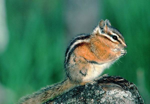 Chipmunk Wall Art - Photograph - View Of A Chipmunk (tamias Sp.) Eating Seeds by William Ervin/science Photo Library