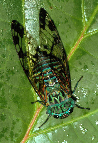 Cicada Wall Art - Photograph - View Of A Cicada Resting On A Leaf by William Ervin/science Photo Library