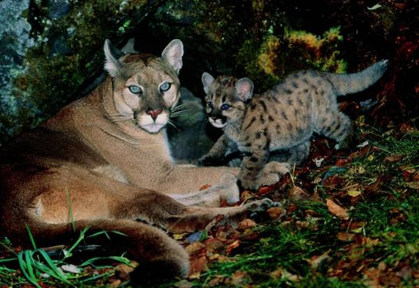 Puma Photograph - View Of A Female Mountain Lion With Her Kittten by William Ervin/science Photo Library