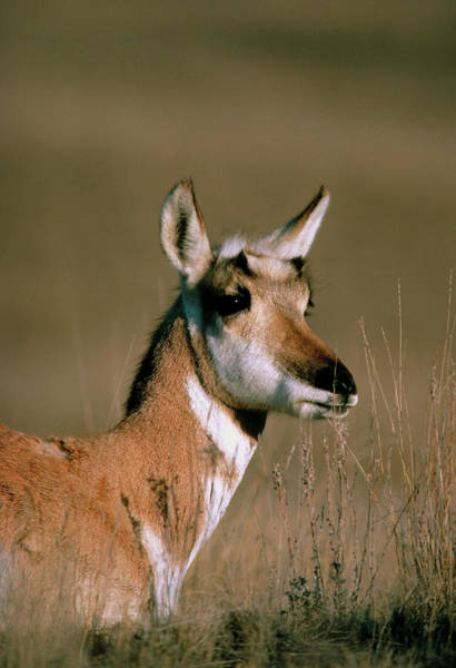 Pronghorn Photograph - View Of A Female Proghorn (antilocapra Americana) by William Ervin/science Photo Library