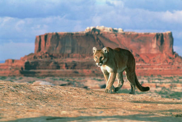 Puma Photograph - View Of A Mountain Lion Walking On Slickrock by William Ervin/science Photo Library