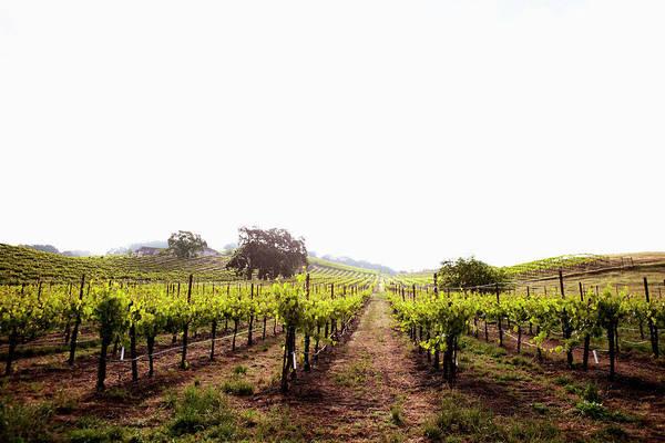Napa Valley Photograph - View Of Californian Vineyard, Napa by Johner Images