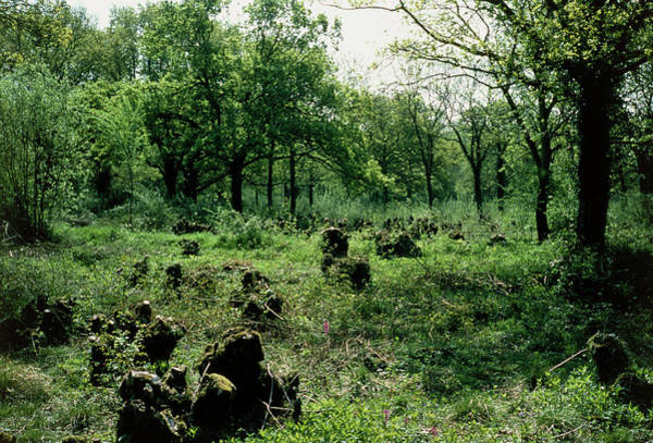 Coppice Photograph - View Of Coppiced Woodland In Norfolk by Dr Jeremy Burgess/science Photo Library