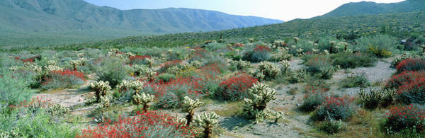Opuntia Bigelovii Photograph - View Of Desert Wild Flowers And Cacti by William Ervin/science Photo Library