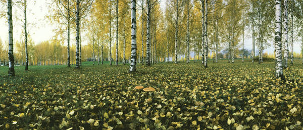 Birch River Photograph - View Of Fallen Leaves And Birch Trees by Panoramic Images