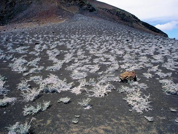 Galapagos Islands Wall Art - Photograph - View Of Plant Growth On Cooled Lava by Dr Morley Read/science Photo Library