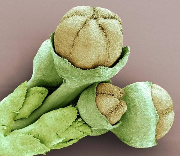 Climbing Plants Photograph - Vine Adventitious Roots by Steve Gschmeissner