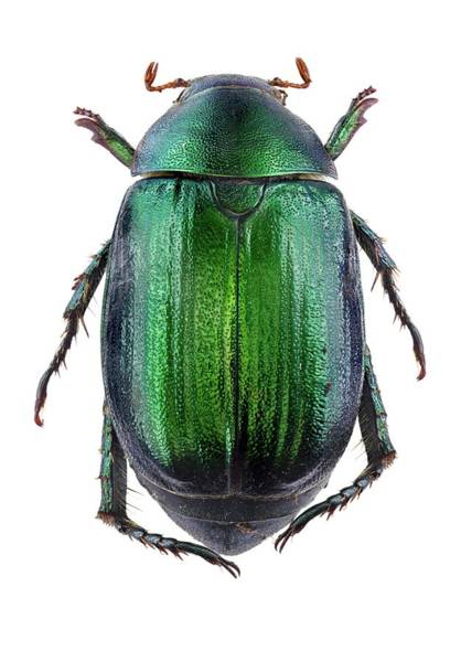 Arthropods Wall Art - Photograph - Vine Chafer Beetle by F. Martinez Clavel