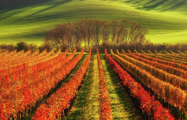 Field Photograph - Vine-growing by Piotr Krol (bax)