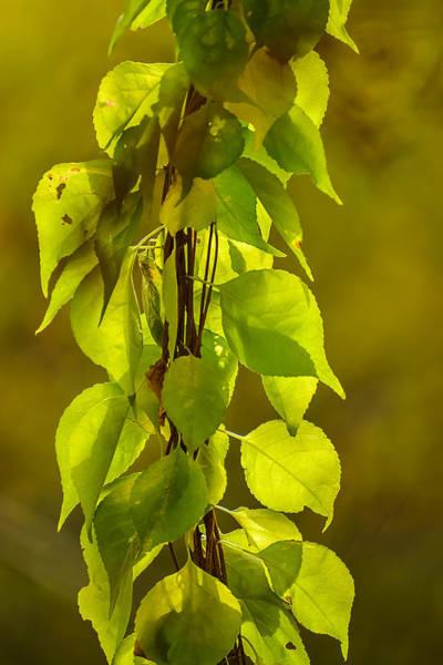 Photograph - Vine In Autumn by Robert Mitchell
