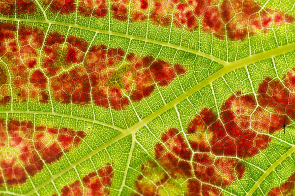 Photograph - Vine Leaf Close-up by Pete Hemington