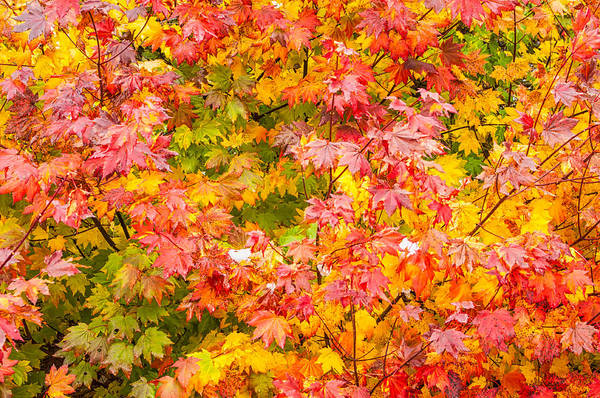 Kittitas County Wall Art - Photograph - Vine Maple In Autumn Blaze by Rich Leighton