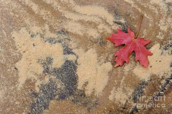 Photograph - Vine Maple Leaf by John Shaw