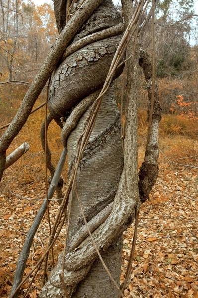 Staff Photograph - Vine Strangling A Birch Tree by Bob Gibbons/science Photo Library