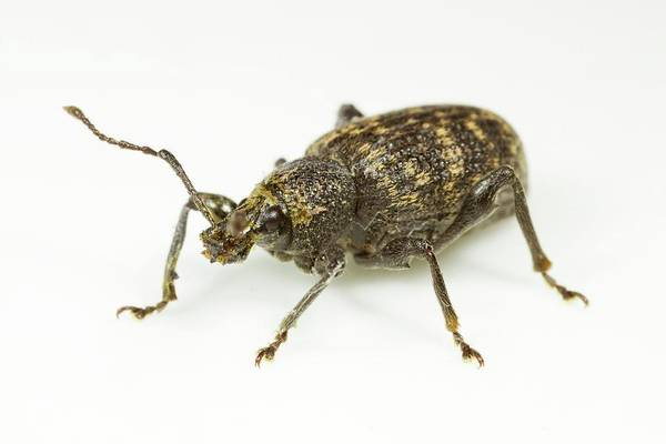 Coleoptera Photograph - Vine Weevil by Sinclair Stammers