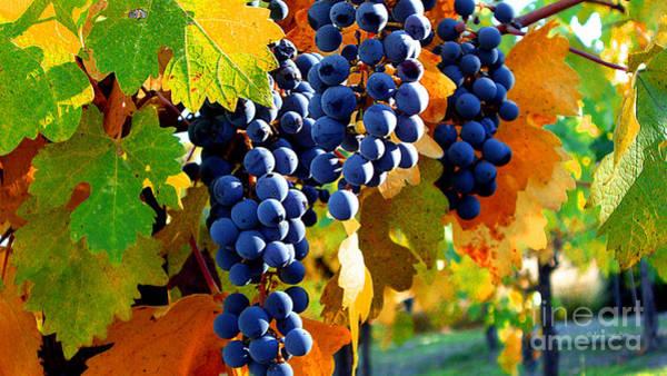 Vineyard 2 Art Print
