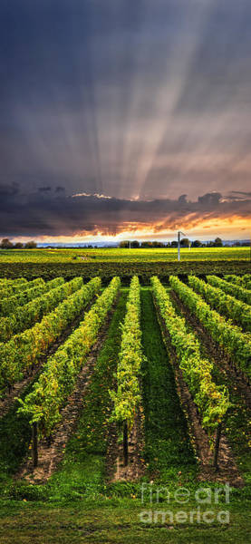 Horticulture Photograph - Vineyard At Sunset by Elena Elisseeva