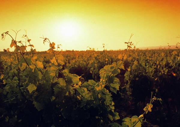 Grapevine Photograph - Vineyard At Sunset by Tony Craddock/science Photo Library