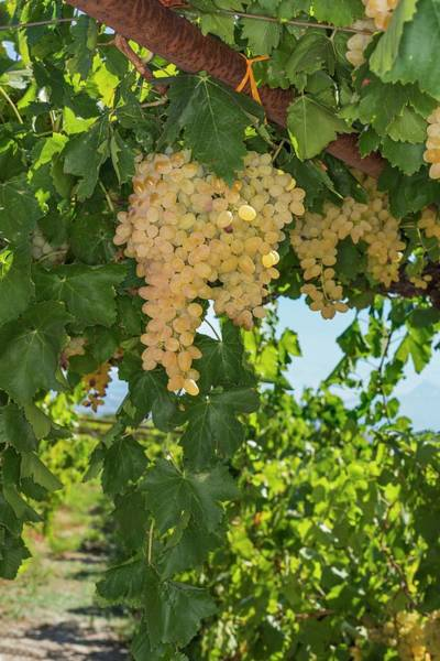 Grape Leaves Photograph - Vineyard by David Parker/science Photo Library