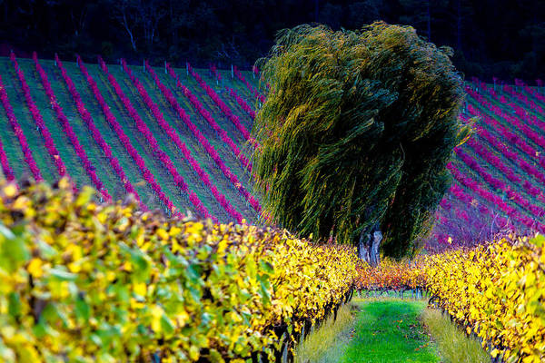 Photograph - Vineyard by Edgar Laureano