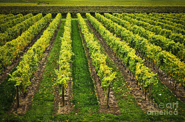 Horticulture Photograph - Vineyard by Elena Elisseeva