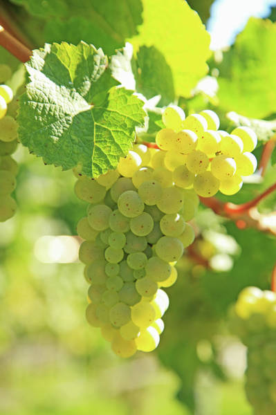 Winemaking Photograph - Vineyard, Grapes by Hiroshi Higuchi