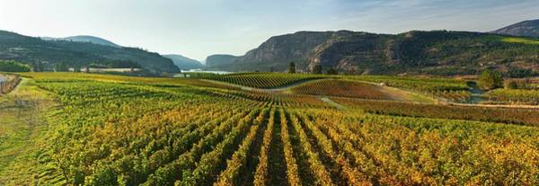Okanagan Photograph - Vineyard In Autumn by David Nunuk/science Photo Library