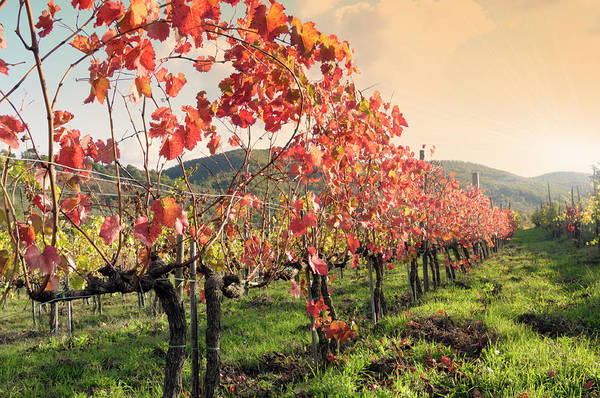 Cultivate Photograph - Vineyard In Fall by Lisa-blue