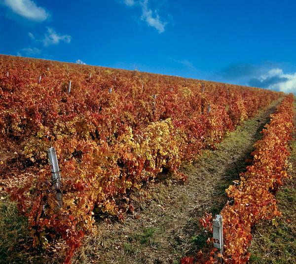 Balkan Peninsula Photograph - Vineyard In Negotin. Serbia by Juan Carlos Ferro Duque