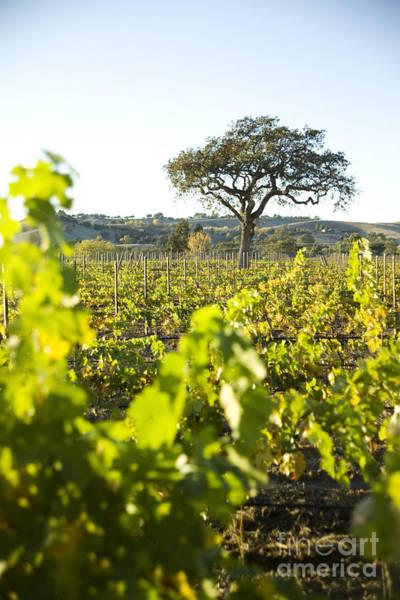 Photograph - Vineyard Landscape by Charmian Vistaunet