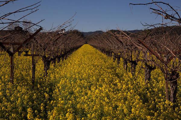 Wild Grape Photograph - Vineyard With Wild Mustard by Greg Ochocki