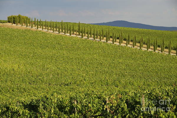 Wall Art - Photograph - Vineyards And Cypresses Tree Alley In Chianti by Sami Sarkis