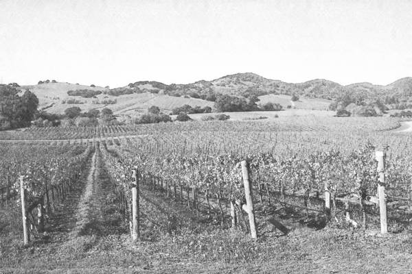 Photograph - Vineyards by Frank Wilson