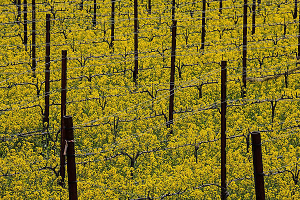 Mustard Photograph - Vineyards Full Of Mustard Grass by Garry Gay