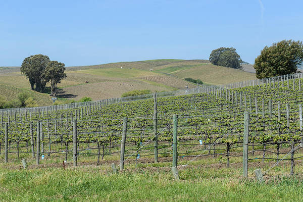 Photograph - Vineyards In Napa Valley California by Brandon Bourdages