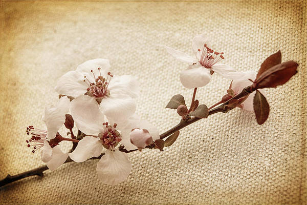 Blume Wall Art - Photograph - Vintage Blossoms by Caitlyn  Grasso