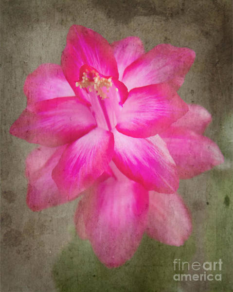 Photograph - Vintage Christmas Cactus by Jemmy Archer