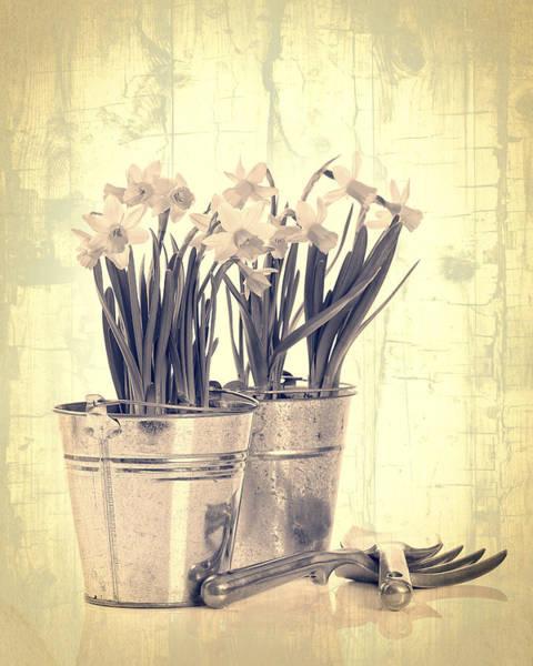 Trowel Photograph - Vintage Daffodils by Amanda Elwell