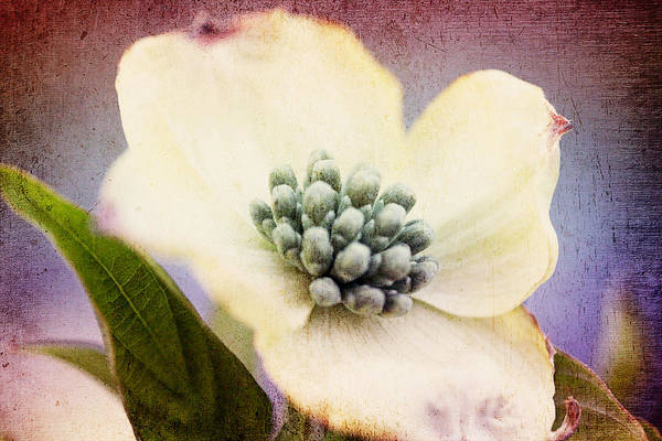 Photograph - Vintage Dogwood Blossom by Trina  Ansel