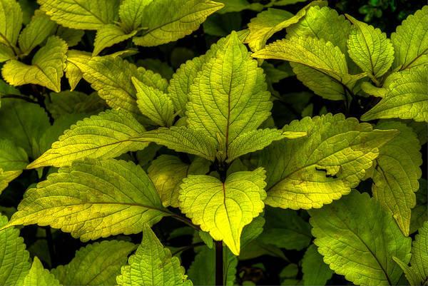 Photograph - Vintage Green Coleus Plant by Dennis Dame