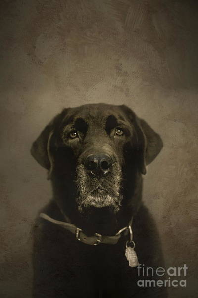 Black Lab Photograph - Vintage Lab by Diane Diederich