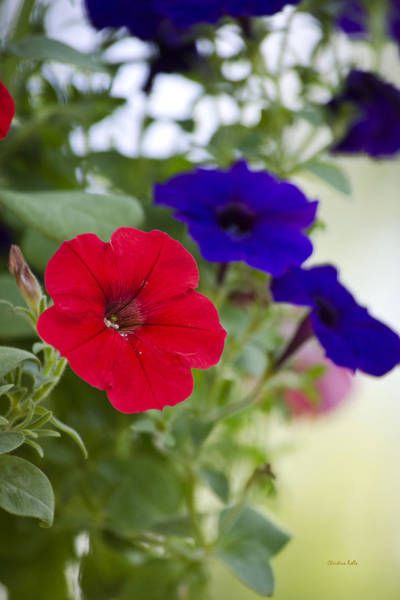 Photograph - Vintage Petunia Flowers by Christina Rollo