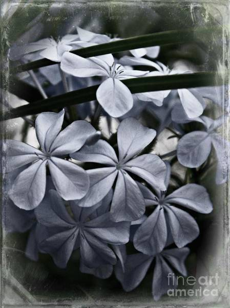 Plumbaginaceae Photograph - Vintage Plumbago by Clare Bevan