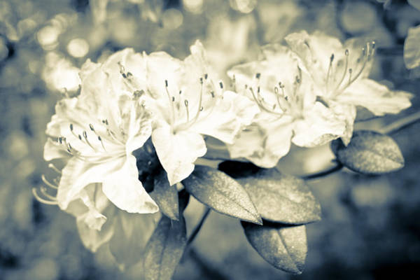Bokah Photograph - Vintage Rhododendron Spring by Priya Ghose